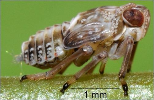 planthopper-insect-leg-gears (1)
