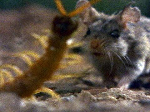 mouse_fightingcentipede_480x360