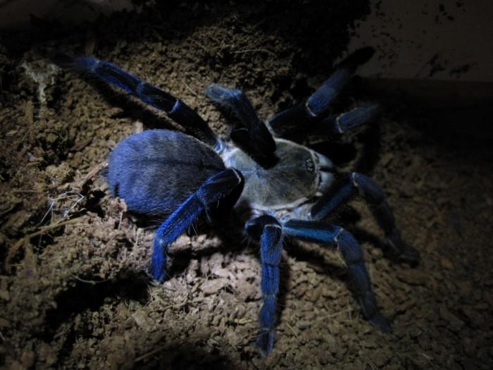 Tarântula azul - noite