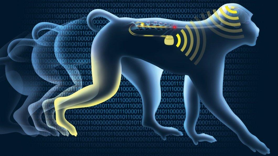 Macaco - implante
