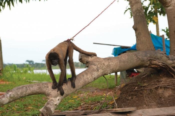 Macaco amarrado (foto por World Animal Protection)
