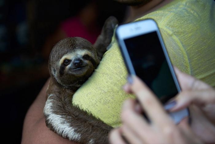 Bicho-preguiça - selfie (foto por World Animal Protection)