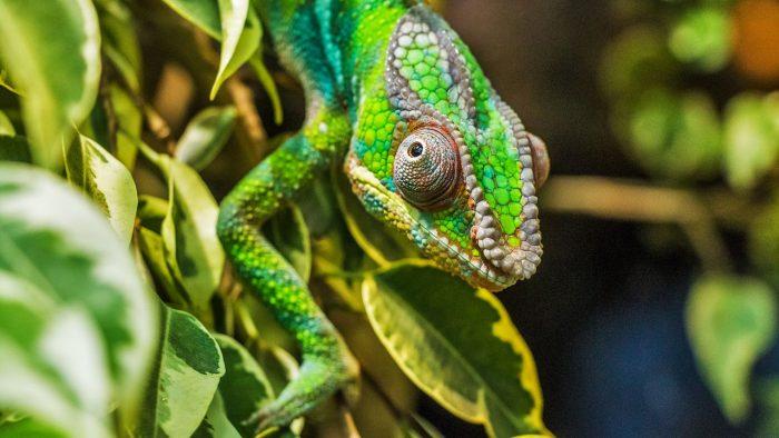 Bergadder / camaleão (detalhe) / Pixabay / SUSE Linux