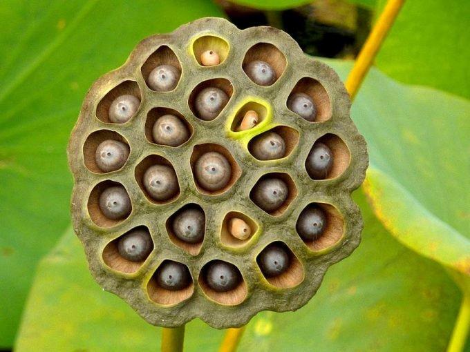 cacho de semente de lótus