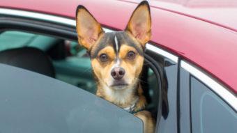 Uber Pet retorna em testes para passageiro levar cachorro ou gato no carro